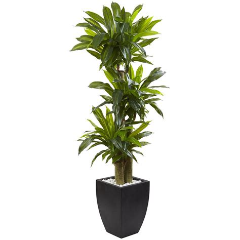 nearly indoor corn stalk dracaena with black wash
