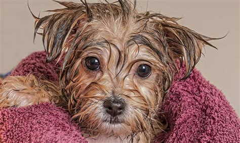 can you bathe a 6 week puppy puppy bath time when and how to bathe a puppy