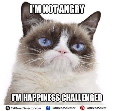 Meme The Cat - grumpy cat memes cat breed selector