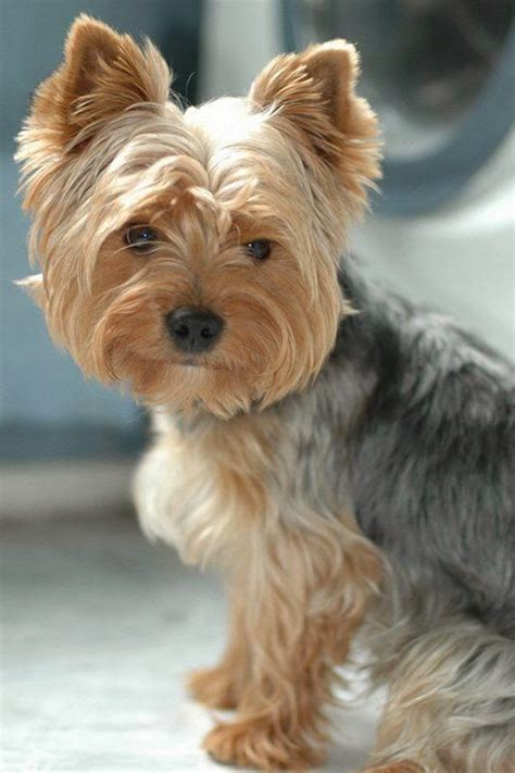 haircuts for yorkshire terriers 21 best yorkie haircuts images on pinterest yorkies