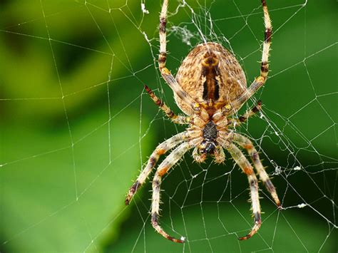 Garden Spider Big One Big Garden Spider Flickr Photo