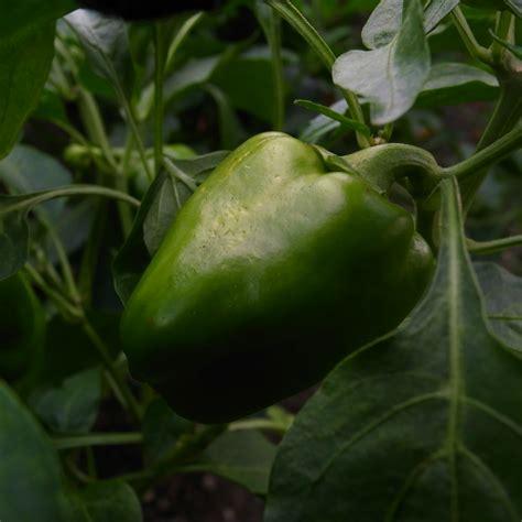 types of garden peppers file piiman green pepper garden jpg wikimedia commons