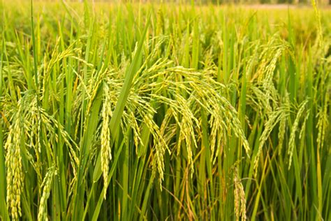 Rice L by Riso Risaie E Paniscia Bonvivre