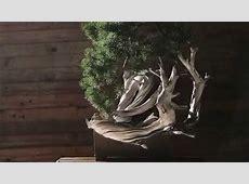 Minoru Bonsai - White Dragon part1 - YouTube Minoru Bonsai
