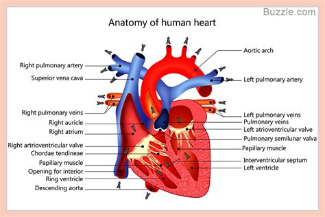 longitudinal section of the human heart a labeled diagram of the human heart you really need to see