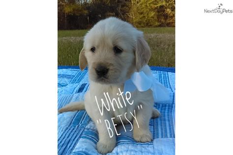 golden retrievers for sale in mississippi betsy golden retriever puppy for sale near jackson mississippi dc727c08 5881
