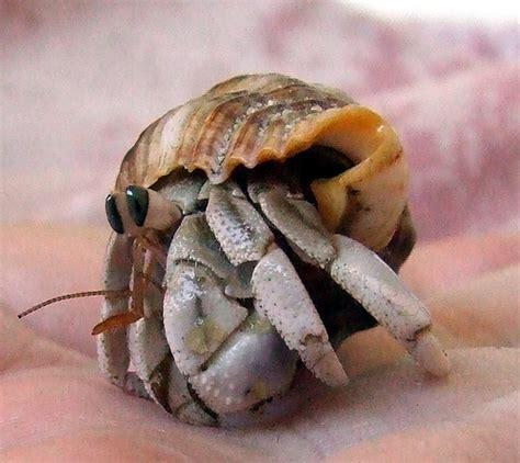 Hermit Crab Heat L by Australian Land Hermit Crab Coenobita Variabilis Flickr