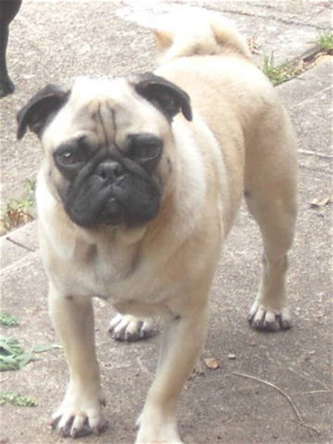 pugs for sale south australia chugs chihuahua x pug for sale adoption from silverdale new south wales sydney metro