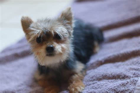baby yorkie poo yorkie poo quot baby quot 1 000 the one of the smallest boys based on weights he is