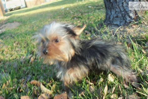 yorkie puppies colorado terrier yorkie puppy for sale near eastern co colorado 7f64f4a8 d891