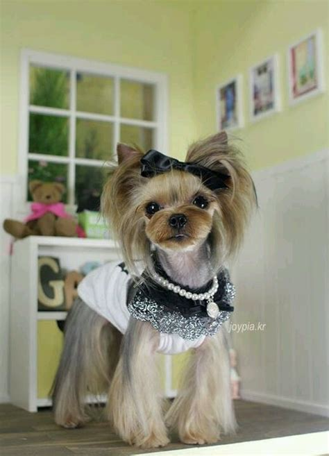 korean yorkie haircuts 147 best yorkie cortes images on pinterest