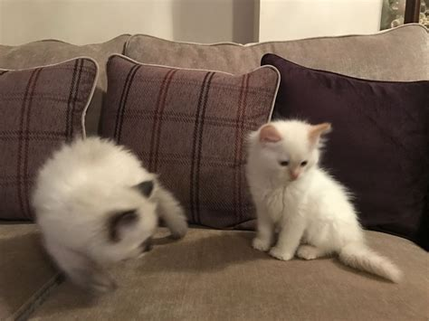 2 ragdoll cats 2 ragdoll cats for sale leeds west pets4homes
