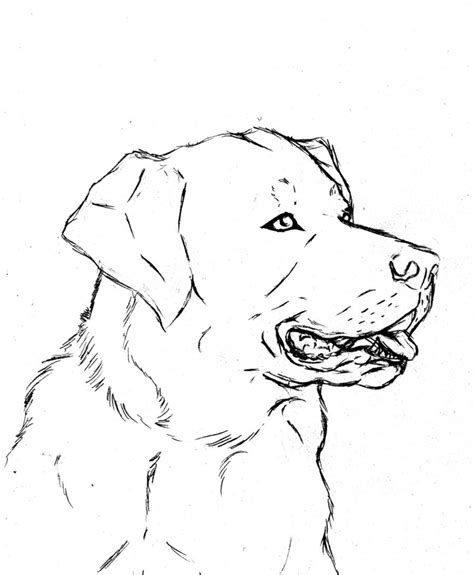 labrador retriever by bornofchocolate on deviantart