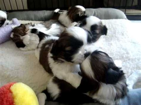 4 week shih tzu 4 week shih tzu puppies