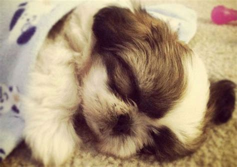 shih tzu age problems 8 tips to take care of your senior shih tzu page 3 of 4 shih tzu buzz