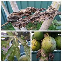fruit tree spots fruit trees what are the black spots on my paw paws and