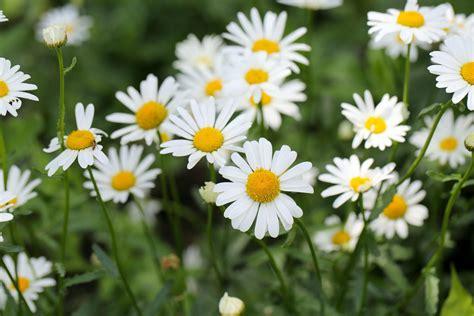 swing significato margherita il significato di questo fiore ohga