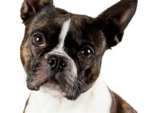 Do Boston Terrier Shed by Boston Terrier Wooftown