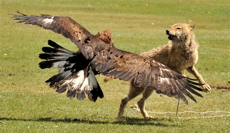 golden eagles wolves falconry wolf