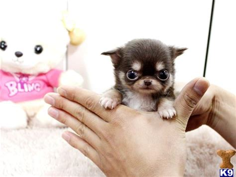 chihuahua puppies for sale ta chihuahua puppy for sale baby choco lc gorgeous micro teacup chocolate ta 7 years