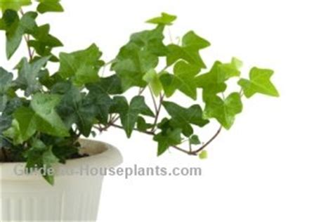 climbing vines indoors tips for growing common indoor growing english ivy plant care hedera helix