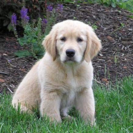 choosing a golden retriever puppy golden retriever puppy for sale for 550 by georges24 elmazad