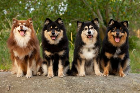 lapphund puppies lapphund breed profile australian lover