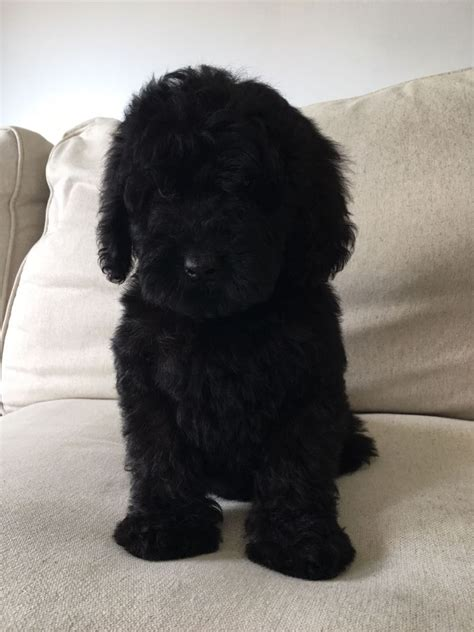 labradoodles puppies for sale west sussex black pra cleared mini labradoodles chichester west