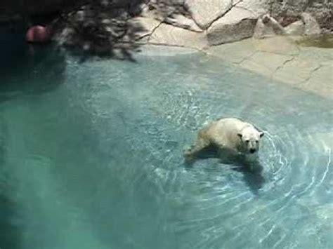 imagenes de leones en zoologico oso polar en el zoologico de leon gto youtube