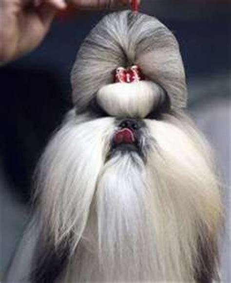 when do shih tzu stop growing 255 best images about grooming shih tzu havanes on