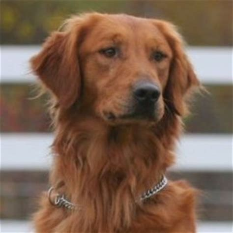 golden retriever dogs for sale in michigan golden retriever puppies for sale md dogs in our photo