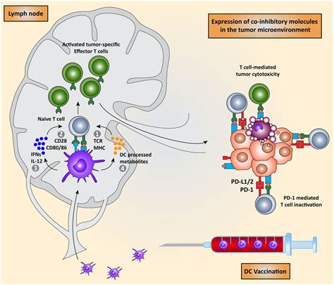frontiers tumor altered dendritic cell frontiers clinical implications of co inhibitory