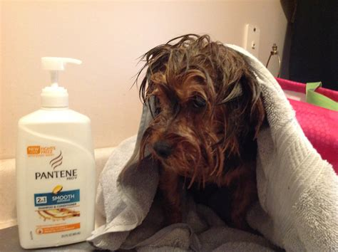 my yorkie smells i bathe my yorkies in pantene shoo conditioner the vet said this is to use