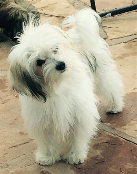 havanese puppies for sale in ri havanese breeders breeds picture