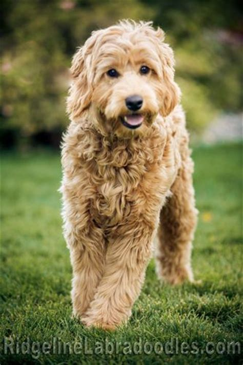 goldendoodle puppy growing up 25 best ideas about labradoodles on