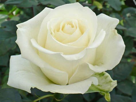 imagenes de rosas blancas bonitas imagenes de rosas blancas im 225 genes de flores naturales