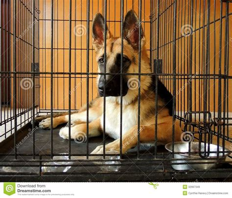 are german shepherds good house dogs young german shepherd in crate stock image image 32997349