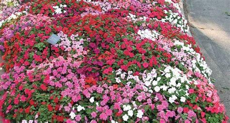 fiori di vetro fiori di vetro piante annuali fiori di vetro