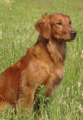 field golden retrievers field trial golden retriever assistedlivingcares