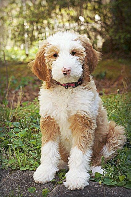 goldendoodle puppy health this is a belladoodles goldendoodle goldendoodle puppy