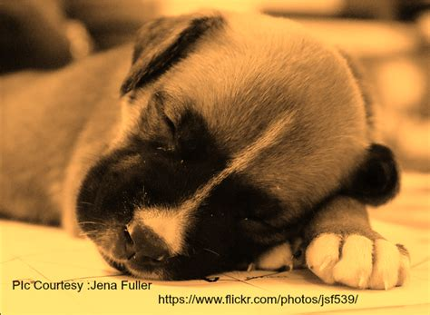 how to a boxer puppy how to feed a boxer puppy boxer info and health tips