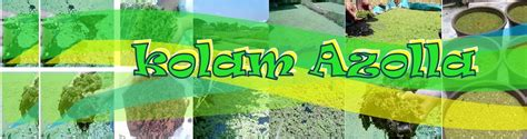Bibit Azolla Microphylla Malang kolamazolla manfaat tanaman azolla