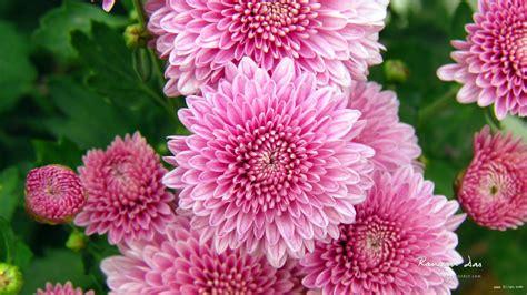 wallpaper bunga krisan 绚丽的花图片