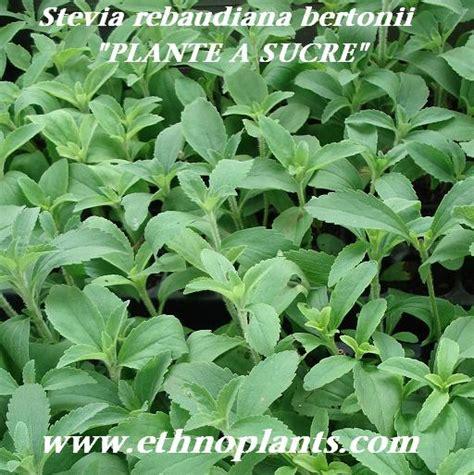 Plante De Stevia by Photos De Stevia Rebaudiana Images De Plante 224 Sucre