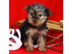 yorkie puppies for sale in new orleans terrier puppies in louisiana