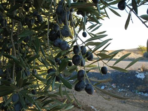 types of olive trees in california 28 images