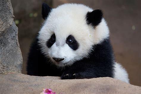 St Pandablack why do pandas black patched panda