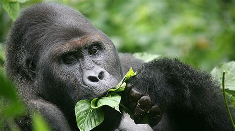 The eastern lowland gorilla isn't doing well. It's now ...