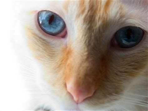 The Red Point Siamese Cat