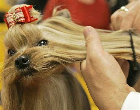 how to groom a yorkie at home how to groom a yorkie at home terrier grooming yorkiemag
